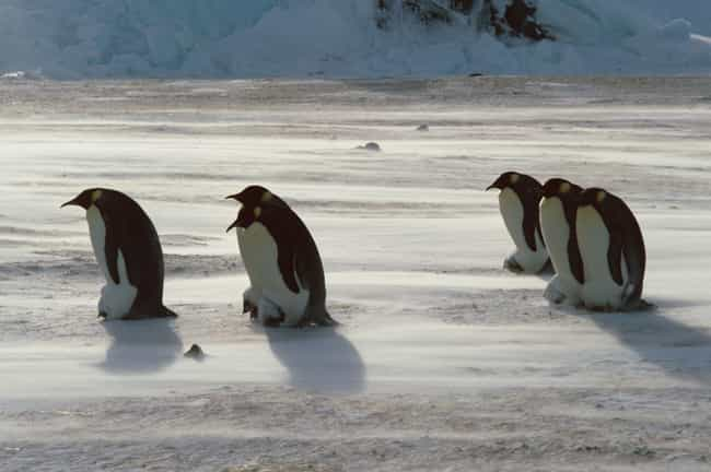 Emperor Penguin is listed (or ranked) 2 on the list Dads Of The Animal Kingdom Who Are Truly The Best