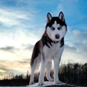 Siberian Husky is listed (or ranked) 14 on the list The Best Dogs for Kids