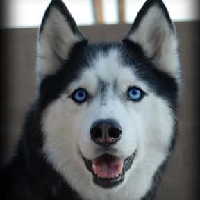 Siberian Husky is listed (or ranked) 6 on the list The Best Dog Breeds for Families