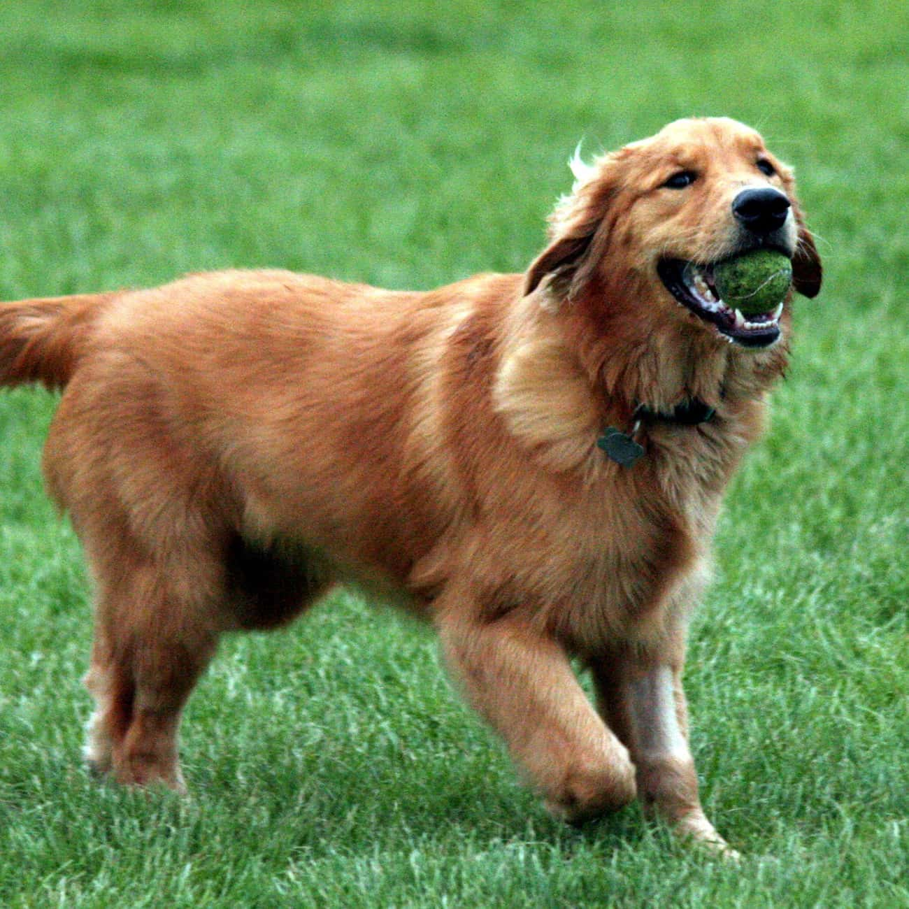 Gemini - Golden Retriever is listed (or ranked) 3 on the list Which Dog Breed Should You Get, Based On Your Zodiac Sign?