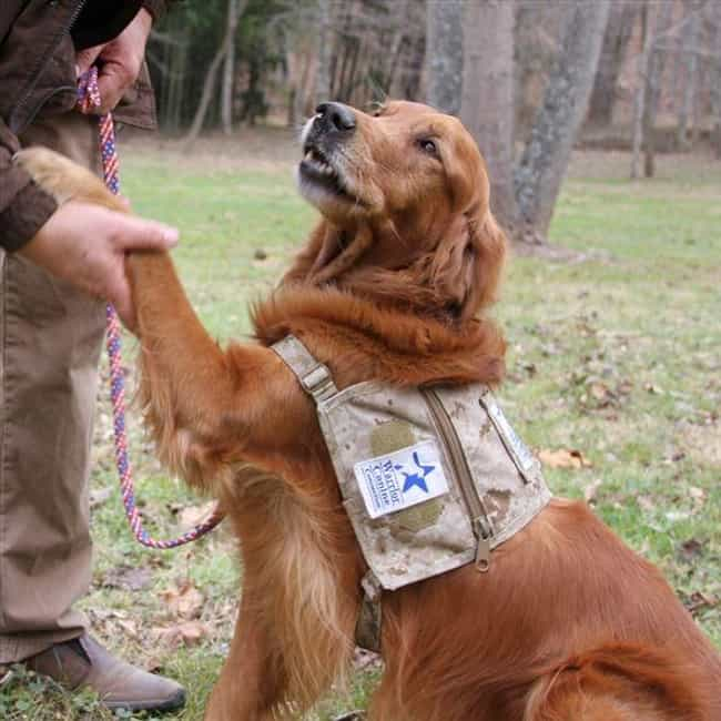 Golden Retriever is listed (or ranked) 4 on the list These Are The Most Intelligent Dog Breeds, According To Research