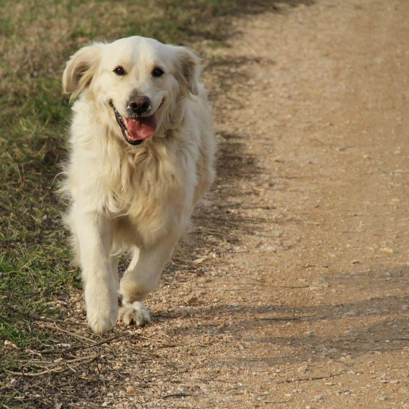 Golden Retriever – Hufflepuff is listed (or ranked) 3 on the list Which Dog Breeds Would Be Sorted Into Which Hogwarts Houses?