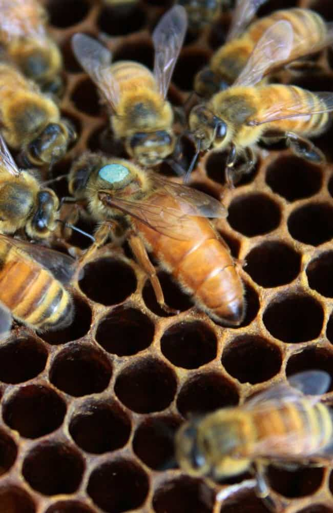 Bee is listed (or ranked) 4 on the list 15 Animals Who Have Insanely Violent Sex