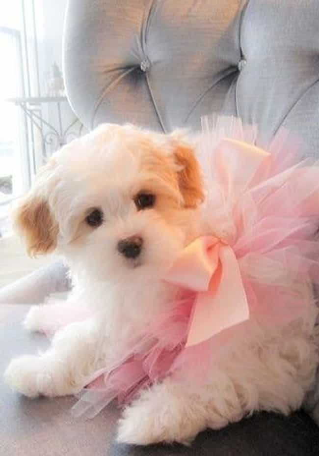 Princess is listed (or ranked) 4 on the list The Cutest Maltipoo Pictures