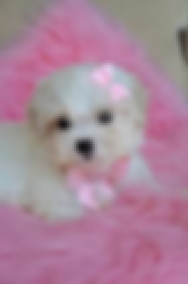Princess is listed (or ranked) 3 on the list The Cutest Maltipoo Pictures