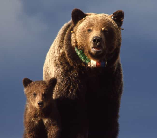 Grizzly Bear is listed (or ranked) 3 on the list From Deadbeats To Cannibals - These Are The Worst Dads In The Animal Kingdom