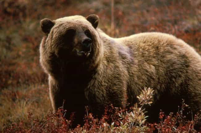 Grizzly Bear is listed (or ranked) 2 on the list The Scariest Types of Bears in the World