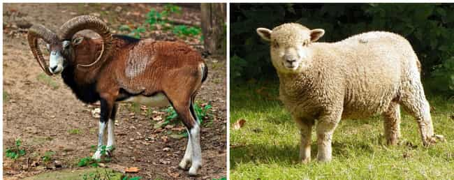 Sheep is listed (or ranked) 3 on the list What Animals Looked Like Before Humans Started Breeding Them For Food