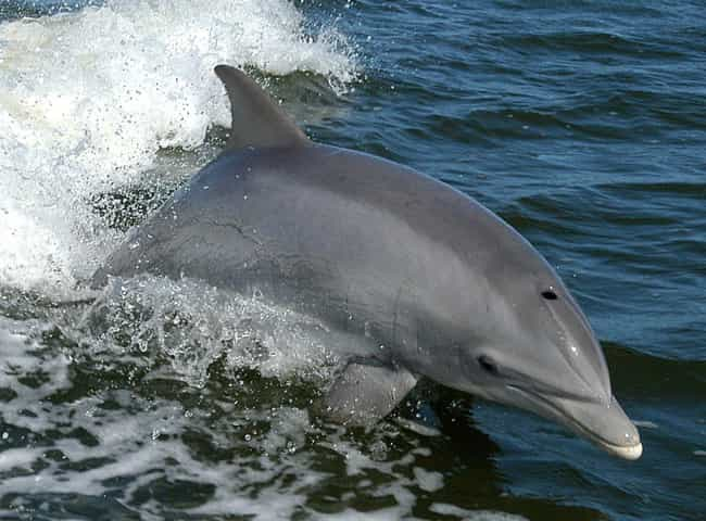 Dolphin is listed (or ranked) 4 on the list 13 Crazy Ways Animals Have A Sixth Sense
