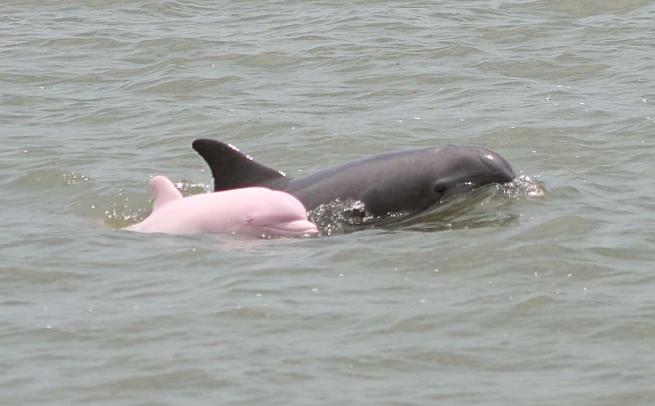 Dolphin is listed (or ranked) 1 on the list 38 Incredible Albino (and Leucistic) Animals