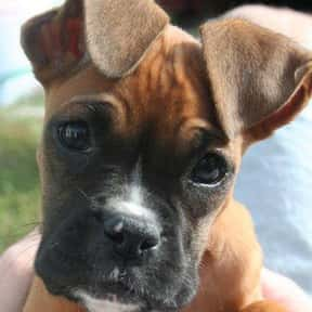 Boxer is listed (or ranked) 20 on the list The Very Best Dog Breeds, Ranked