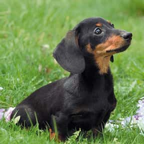Dachshund is listed (or ranked) 18 on the list The Very Best Dog Breeds, Ranked