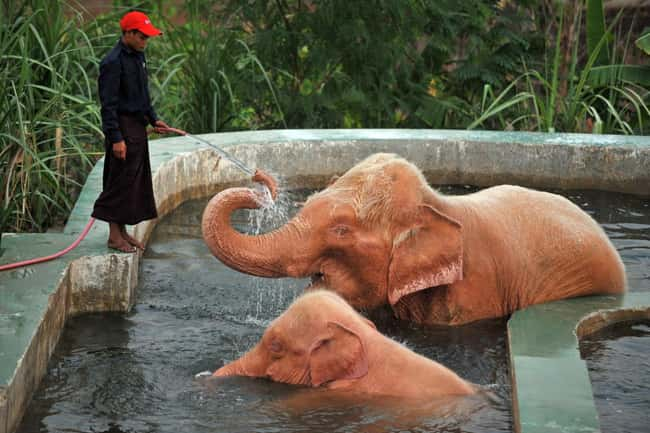 Asian Elephant is listed (or ranked) 14 on the list 38 Incredible Albino (and Leucistic) Animals