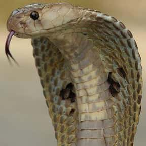 Cobra is listed (or ranked) 16 on the list The Scariest Animals in the World