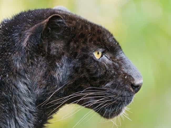 Leopard is listed (or ranked) 3 on the list 19 Photos Of Melanistic (All Black) Animals That'll Leave You In Awe Of Mother Nature