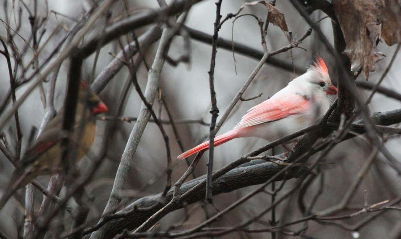 This Cardinal Could Almost Pas is listed (or ranked) 4 on the list 18 Mind-Blowing Photos Of Half Albino (AKA Leucistic) Animals