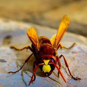 Deadly Hornets is listed (or ranked) 6 on the list The Scariest Animals in the World