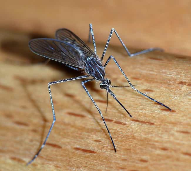 Mosquito is listed (or ranked) 1 on the list The Deadliest Bugs On Earth Humans Should Fear The Most