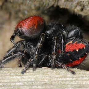 A Male Spider Eaten By A Female After Mating