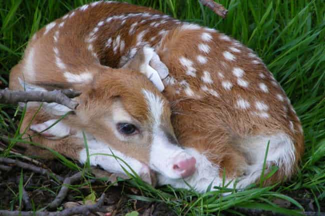 Deer is listed (or ranked) 2 on the list 20 Mind-Blowing Photos Of Half Albino (AKA Leucistic) Animals