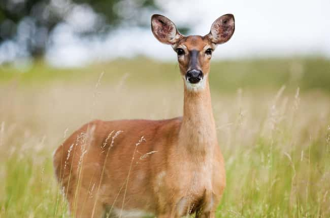 Deer is listed (or ranked) 10 on the list 28 Cute Animals That You Don't Want To Mess With