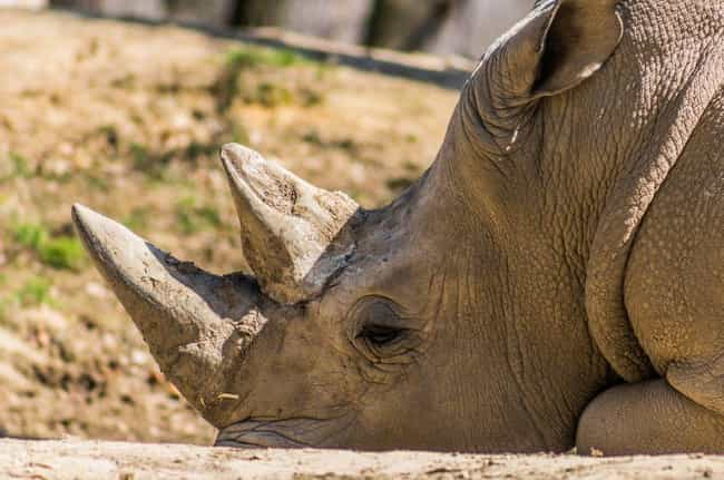 Rhinoceros is listed (or ranked) 3 on the list 10 Times Animals Attacked People Trying To Poach Them