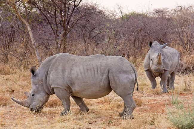 "Rhinoceros is listed (or ranked) 3 on the list Animals Are Being Poached For Traditional ""Medicine"" That Has No Medicinal Value"