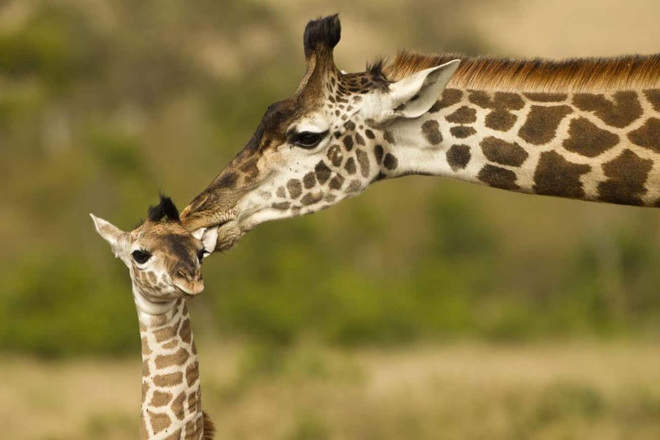 Giraffe and Calf is listed (or ranked) 1 on the list The Most Adorable Animal Parenting Moments