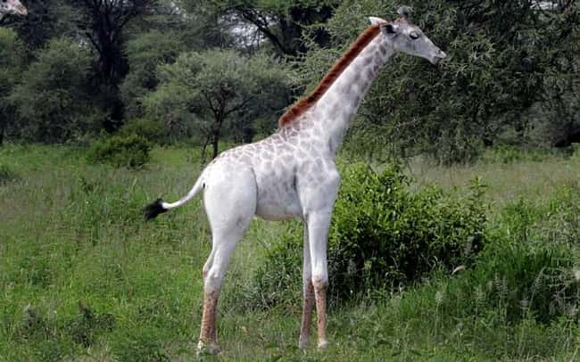Giraffe is listed (or ranked) 6 on the list 38 Incredible Albino (and Leucistic) Animals