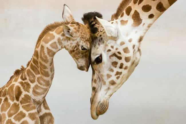 Giraffe is listed (or ranked) 1 on the list The Most Adorable Animal Parenting Moments
