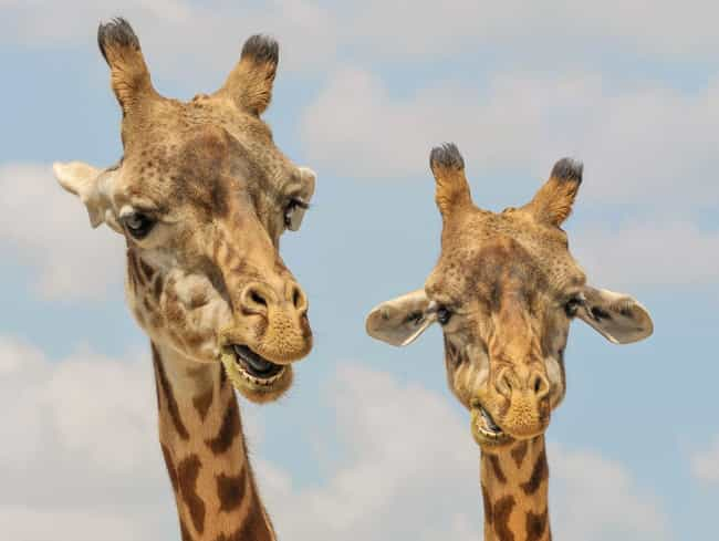 Giraffe is listed (or ranked) 2 on the list 13 Animals Who Are Into Golden Showers