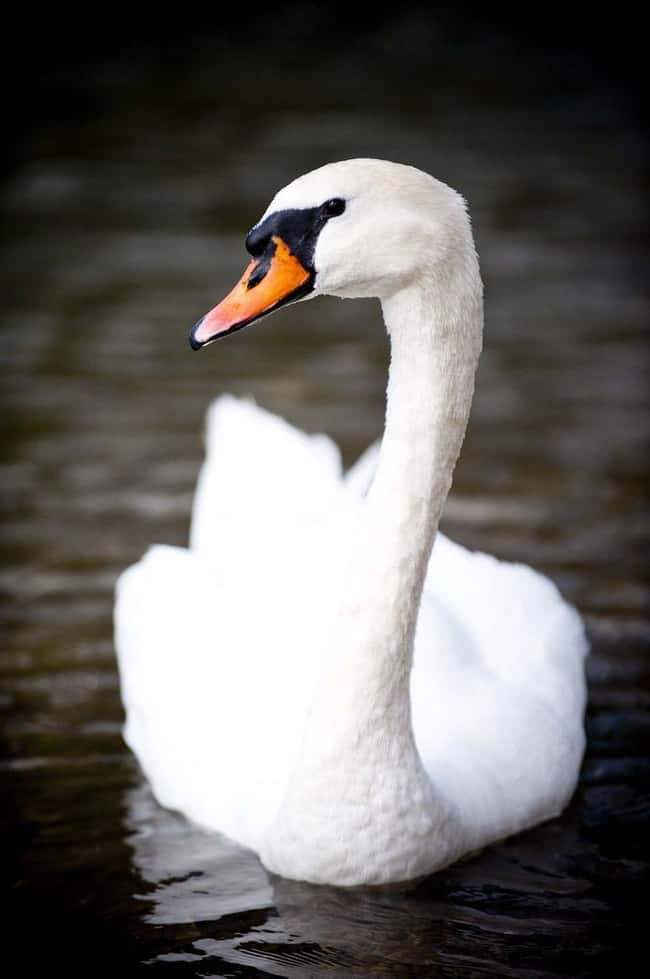 Swan is listed (or ranked) 22 on the list 28 Cute Animals That You Don't Want To Mess With
