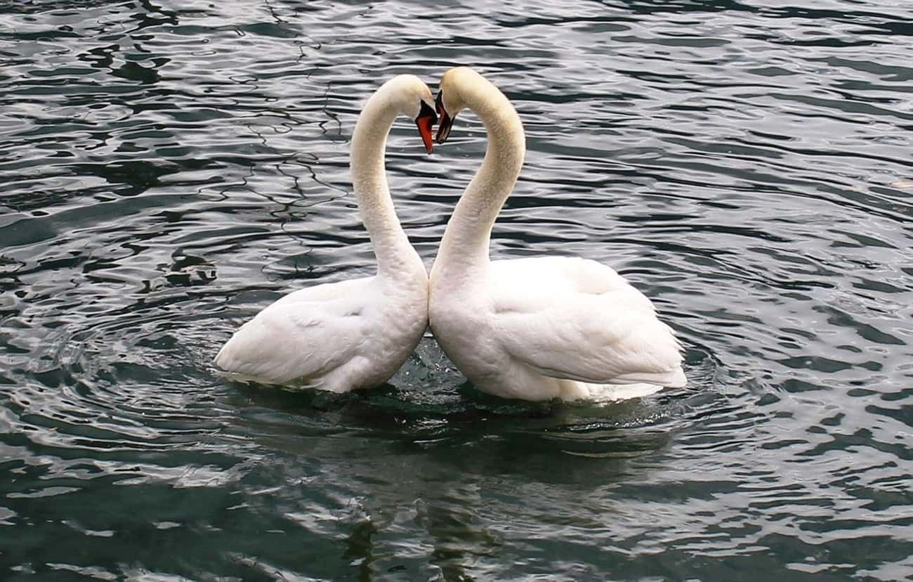 Swans is listed (or ranked) 1 on the list 13 Monogamous Animals That Mate For Life
