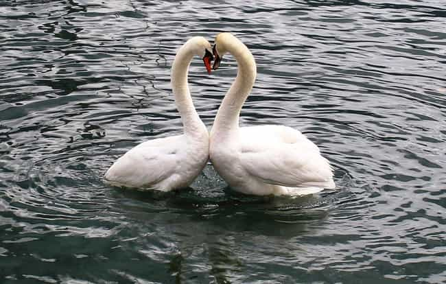 Swan is listed (or ranked) 1 on the list 13 Monogamous Animals That Mate For Life