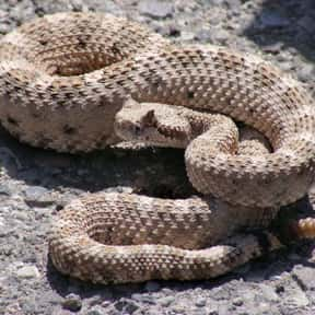 Rattlesnake is listed (or ranked) 12 on the list The Scariest Animals in the World