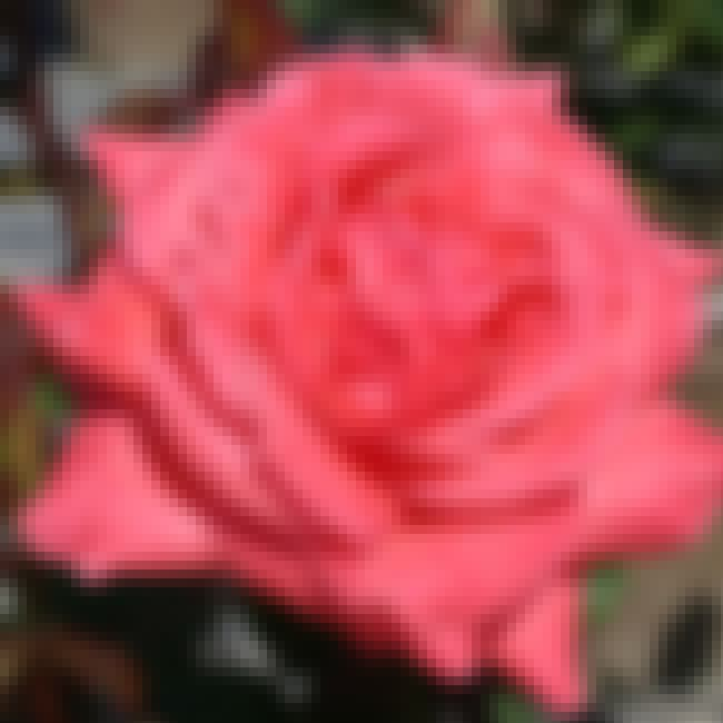 Rosa 'Camelot' is listed (or ranked) 4 on the list All-America Rose Selections Winners List