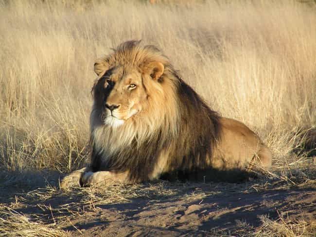 Lion is listed (or ranked) 4 on the list The Biggest and Best Big Cats