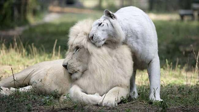 Lion is listed (or ranked) 11 on the list 38 Incredible Albino (and Leucistic) Animals