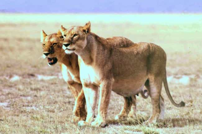 Lion is listed (or ranked) 3 on the list Here's What 21 Different Animal Species Look Like Pregnant