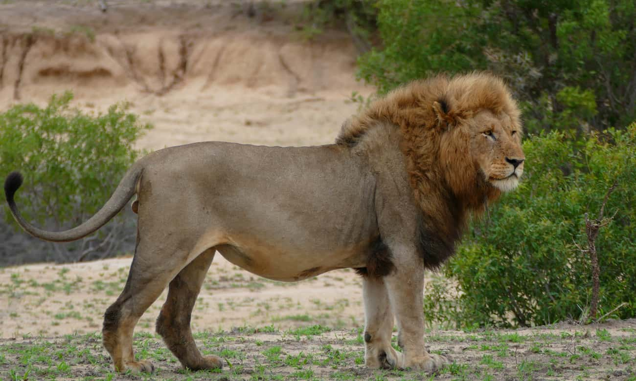 Lion is listed (or ranked) 1 on the list From Deadbeats To Cannibals - These Are The Worst Dads In The Animal Kingdom