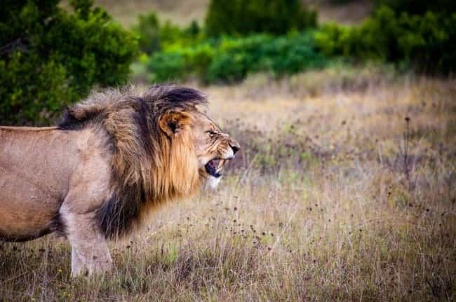 Lion is listed (or ranked) 2 on the list 10 Times Animals Attacked People Trying To Poach Them