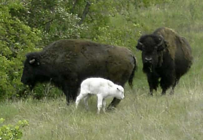 Bison is listed (or ranked) 33 on the list 38 Incredible Albino (and Leucistic) Animals