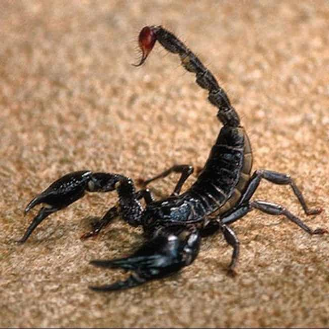 Scorpion is listed (or ranked) 1 on the list Immaculate Conception: Animals That Have Virgin Births