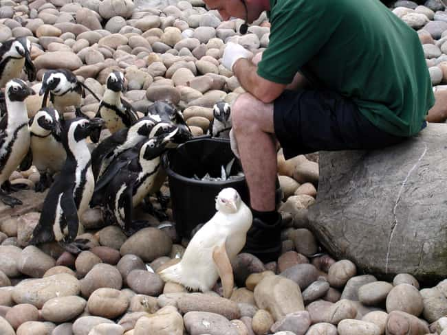 Penguin is listed (or ranked) 18 on the list 38 Incredible Albino (and Leucistic) Animals
