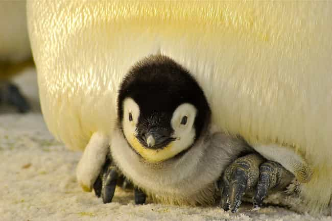 Penguin is listed (or ranked) 3 on the list Animals with the Cutest Babies