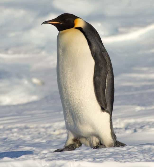 Penguin is listed (or ranked) 4 on the list Animals Who Have Same Sex Partners