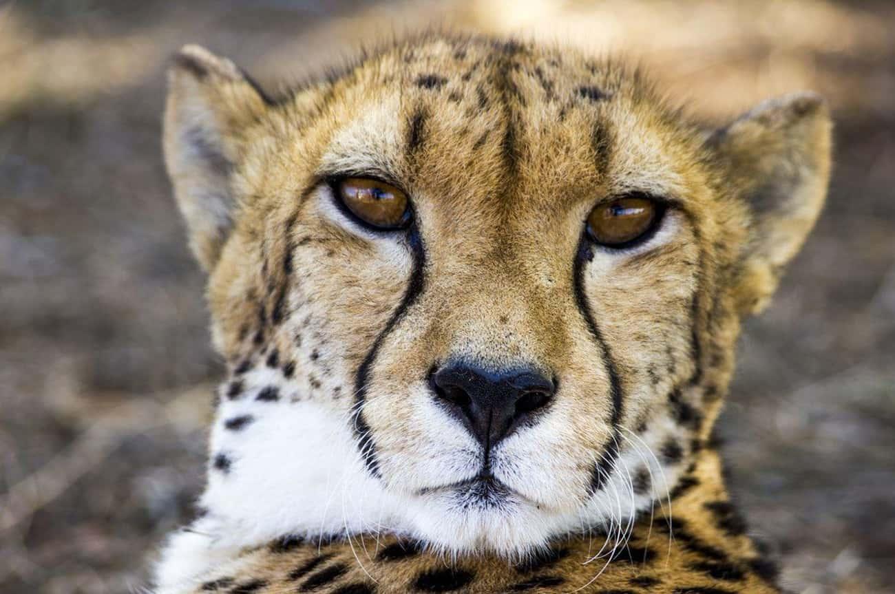 Aries: Cheetah