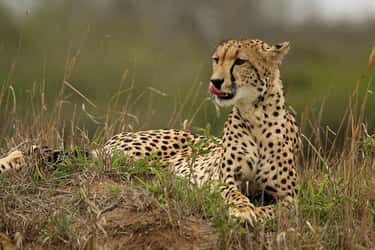 Cheetah is listed (or ranked) 1 on the list The Fastest Animals in the World
