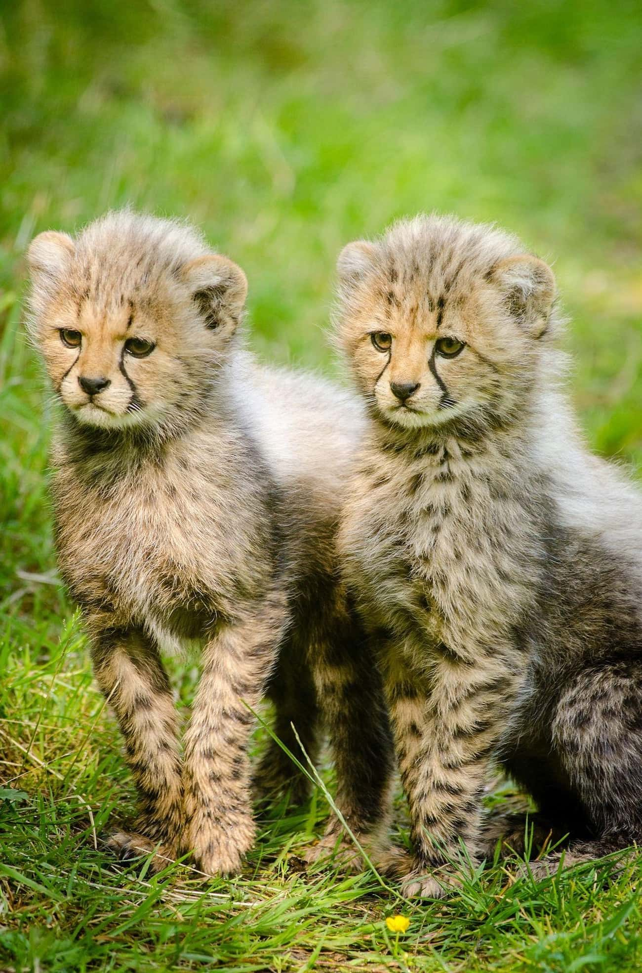 Cheetah is listed (or ranked) 2 on the list Animals with the Cutest Babies