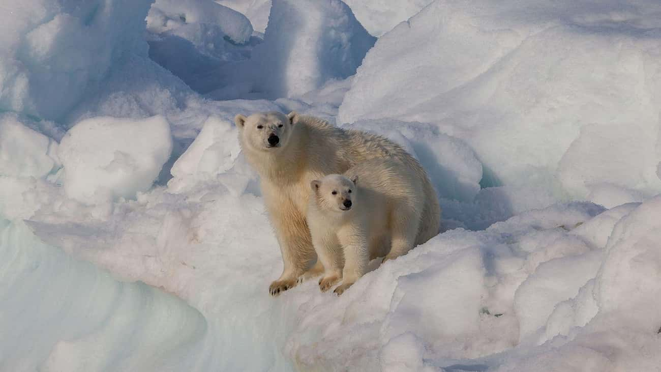 Polar Bear Moms Will Fight To  is listed (or ranked) 3 on the list Single Moms Of The Animal Kingdom Doin' It For Themselves